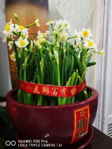 样片(这是我妈亲戚家的水仙,AI花卉模式)